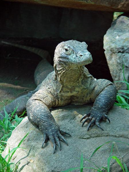 external image komodo-dragon-1a.jpg
