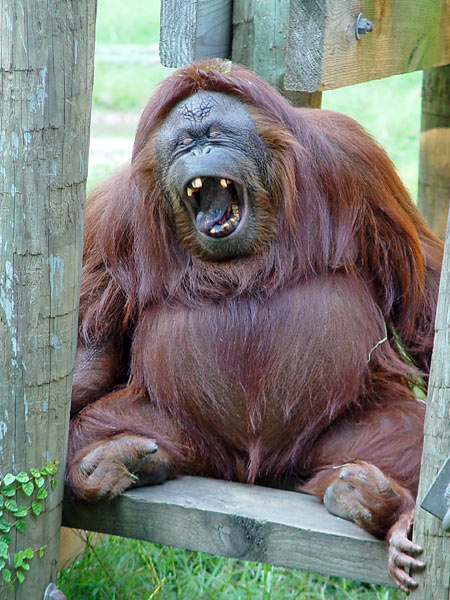 http://www.photohome.com/pictures/animal-pictures/wildlife/orangutan-1a.jpg