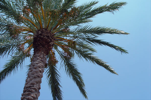 Picture: Palm Tree